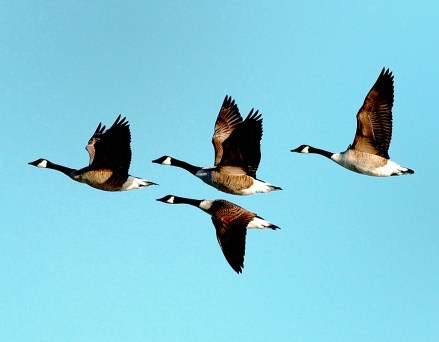 Canada geese in flight – State Rep. RoseLee Vincent (D-Revere) is exploring options on how to regulate how many feet away these geese can be shot in plain view. (Courtesy photo MassWildlife/Bill Bryne)