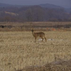 Korean Water Deer in the CCZ, January 2012. Photo by Eleana Kim.