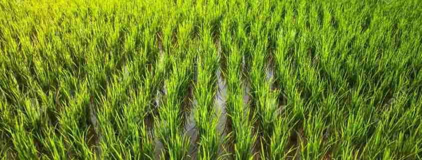 piante di riso