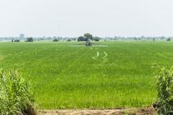 Muchos planes de inversión extranjera en grandes plantaciones en África Oriental han fracasado. Imagen de la plantación de arroz Agricas. (Foto: Cheryl-Samantha Owen / Greenpeace)