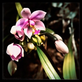 new-caledonia-orchid