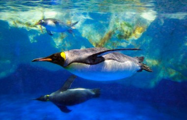tarlton-king-penguin1 copy