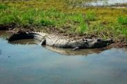 northern territory crocodile