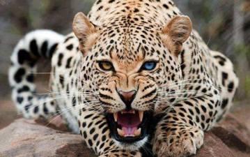 leopardo agresivo