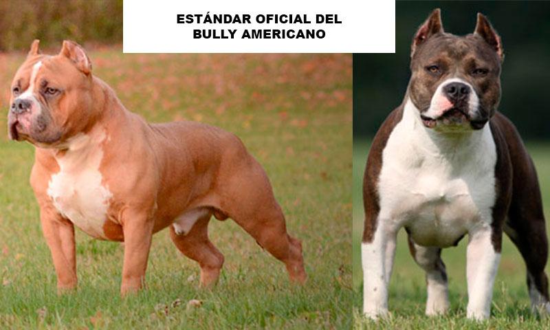 ESTÁNDAR OFICIAL DEL BULLY AMERICANO