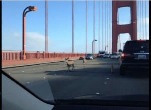 2 deer on the Golden Gate Bridge in Calilfornia.