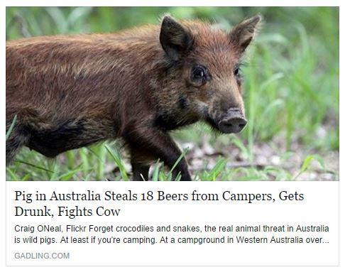 Wild Pig?