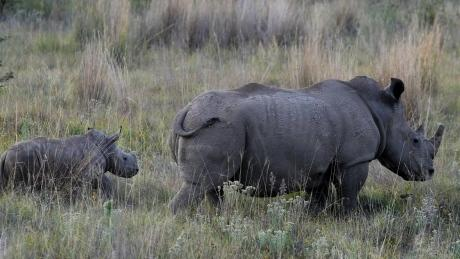 Mother and child Rhinos