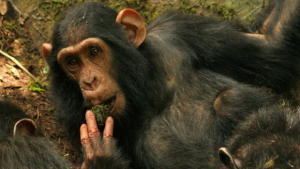 Chimp sucking on moss.