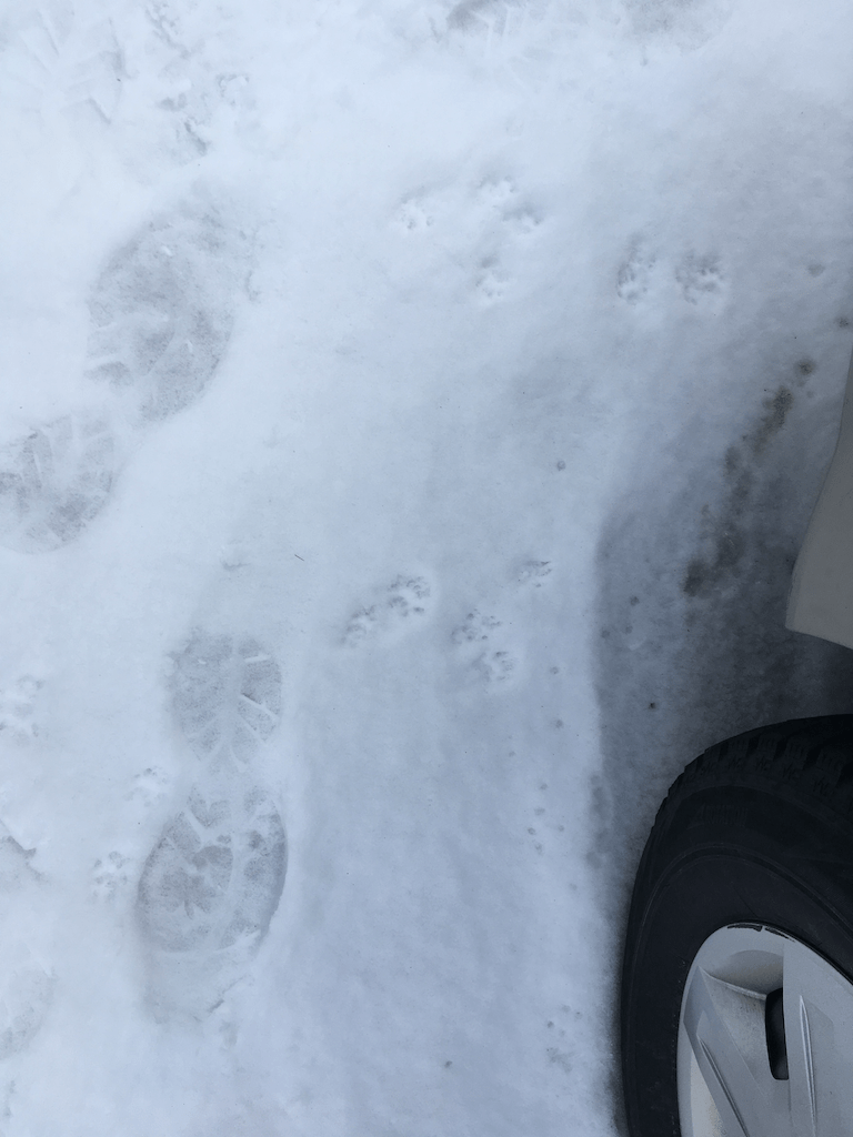 Paw prints in the driveway beside my size 13 boot print.