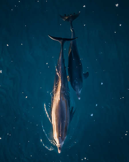 Aerial Of Dolphin And Calf