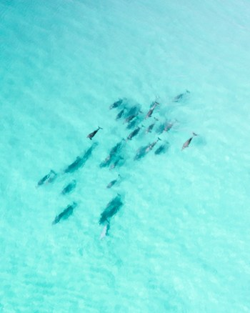 Pod Of Dolphins Captured By Drone