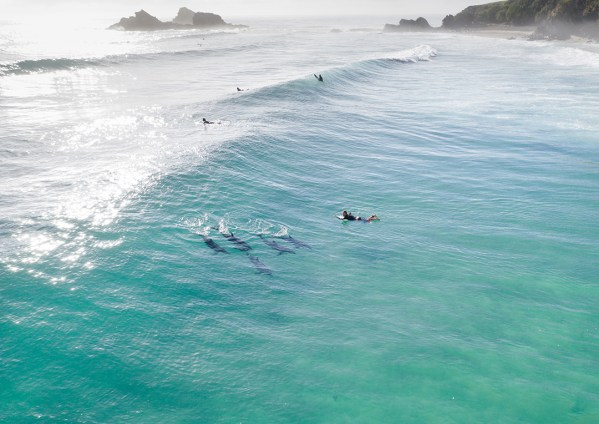 Aerial of Man Paddling with Dolphins in Byron Bay