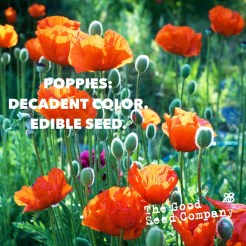 16469_seedpoppies.jpg