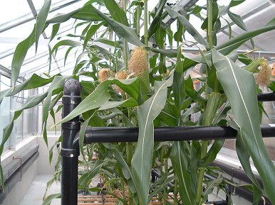 Aeroponic Corn courtsey Dr. Neil Reese South Dakota State U.