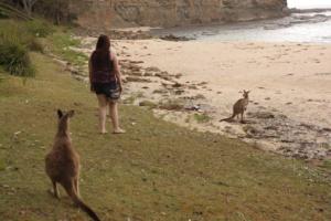 Kangaroos on Pebbly Beach