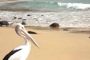 Pelican in Booti-Booti National Park along the East Coast Drive