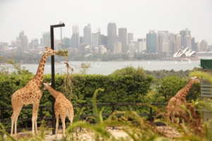 Giraffes at the Sydney Zoo