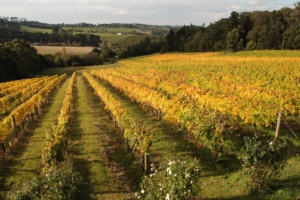 The fall colors of the vineyards