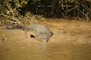 Croc in the Adelaide River