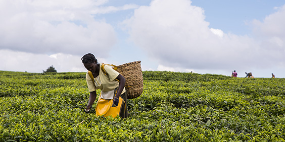 2017 Sept 5 Tea Estate, Nandi Hills, Kenya. African woman picking tea.