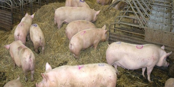 African swine fever causing major agricultural challenge