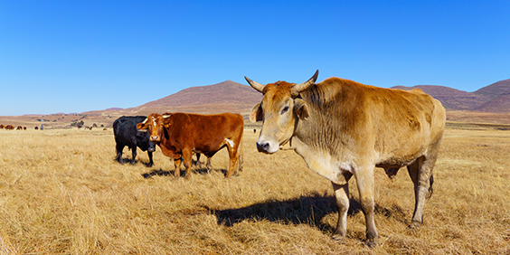 Africa-cow_shutterstock_291645611