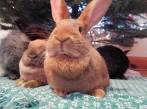 -Allison(Christmas tree and bunnies) 061 (1280x960)
