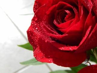 -Allison(rose photoshoot) 020 (1280x960)