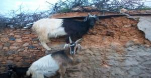 100_483321-300x155 تربية الماعز فلاحة
