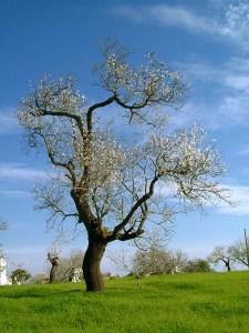 50701-225x300 شجرة اللوز فلاحة