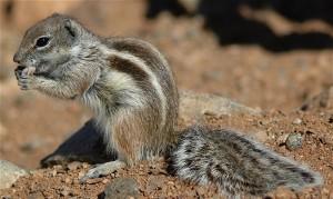 anzid-20101006-300x179 Anzid , notre écureuil  en danger d'extermination ! أخبار آفيان