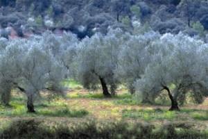 olive2 شجر الزيتون فلاحة   4ee61cff1e-300x200 شجر الزيتون فلاحة