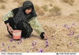 1254221-300x187 زراعة الزعفران  فلاحة   zafran2 زراعة الزعفران  فلاحة