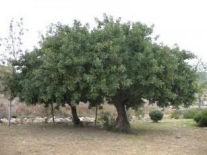 carobceratoniasiliqua-300x225 تكيضا : ماذا تعرف عن شجرة الخروب و ثمارها ؟  فلاحة