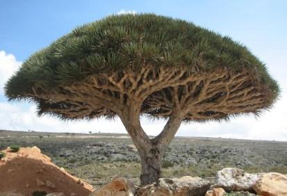 1Socotra_dragon_tree dracaena cinnnabari wikipedia