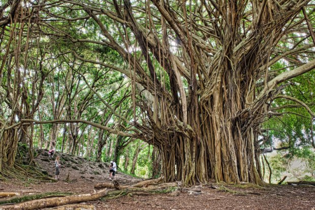 ancient-banyan-big-island-hawaii-james-brandon.jpg