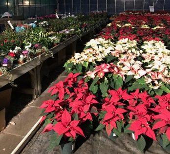 christmas-plants