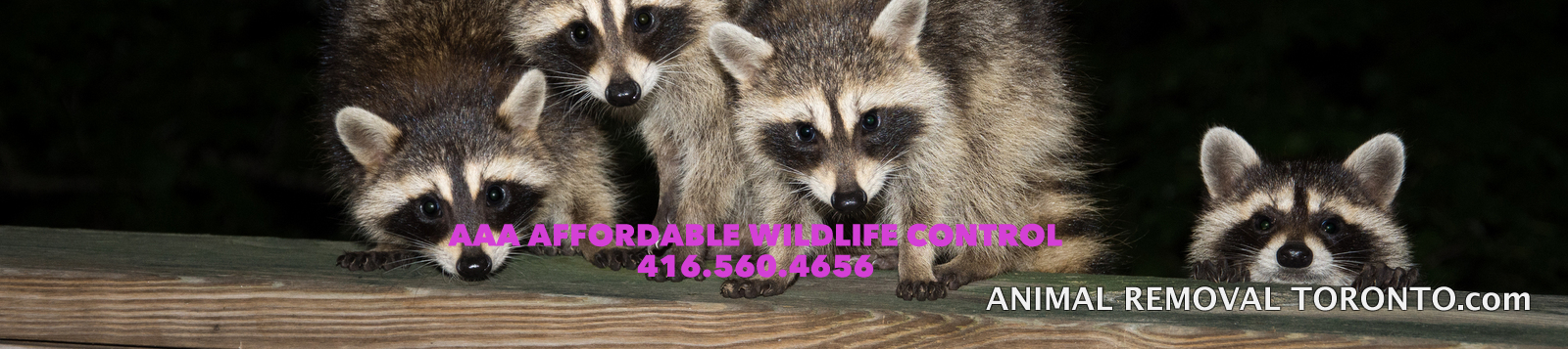 Raccoon Removal Toronto - Affordable Raccoon Removal Tips