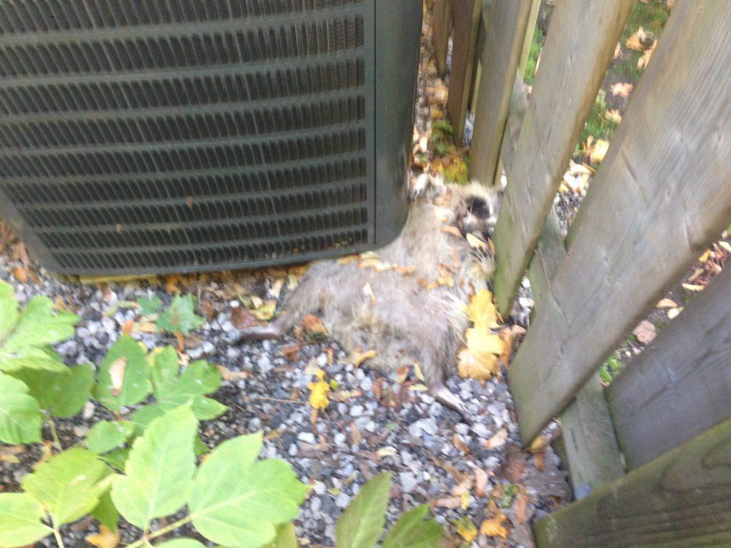 dead raccoon removal toronto