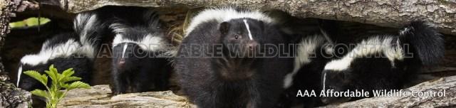 Best Skunk Removal Toronto - Best Wildlife Removal Toronto Company Tips
