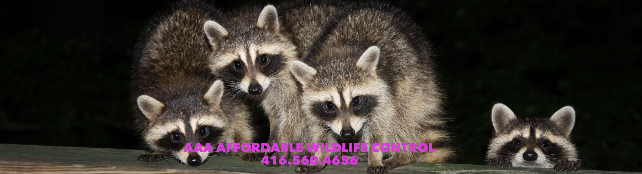 Wildlife Control, Wildlife Control Toronto, Wildlife Removal, Wildlife Removal Toronto, AAA Affordable Wildlife Control, Animal Removal Toronto, Best Wildlife Removal Companies