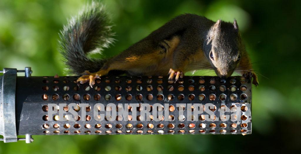Squirrel Removal Tips - Squirrel Control Toronto