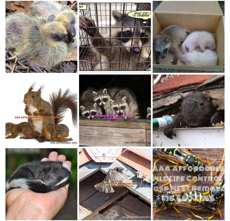 Experienced Wildlife Removal Technicians, wildlife, raccoon, squirrel, removal,