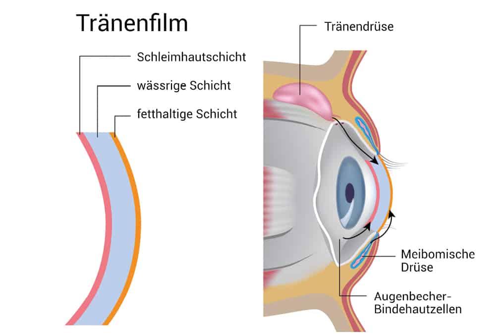 Bestandteile des Auges | Tränendrüse | Meibomdrüse