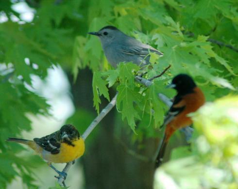 Female Baltimore Oriole, Cat bird, fuzzy Orchard Oriole