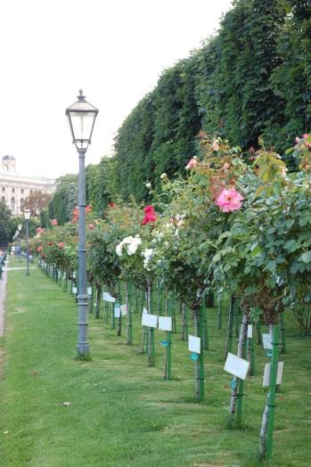 Rows of roses at Volksgarten