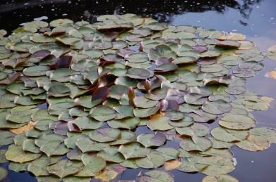 Water lilies at Schönbrunn