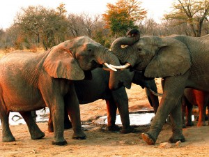 Elephants at Hwange National Park, Zimbabwe (photo by Becca Blond)