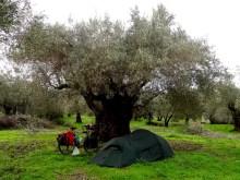 Bivouac au pied d'un olivier millénaire